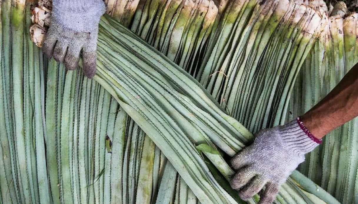 Foglie di ananas per tessuto