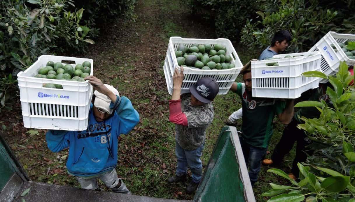 Avocado: coltivato in Michoacan