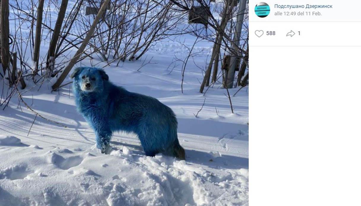 Russia, avvistati cani blu: contaminazione o bufala? Cosa sappiamo
